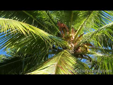 Climbing a coconut tree - Tropical survival skills