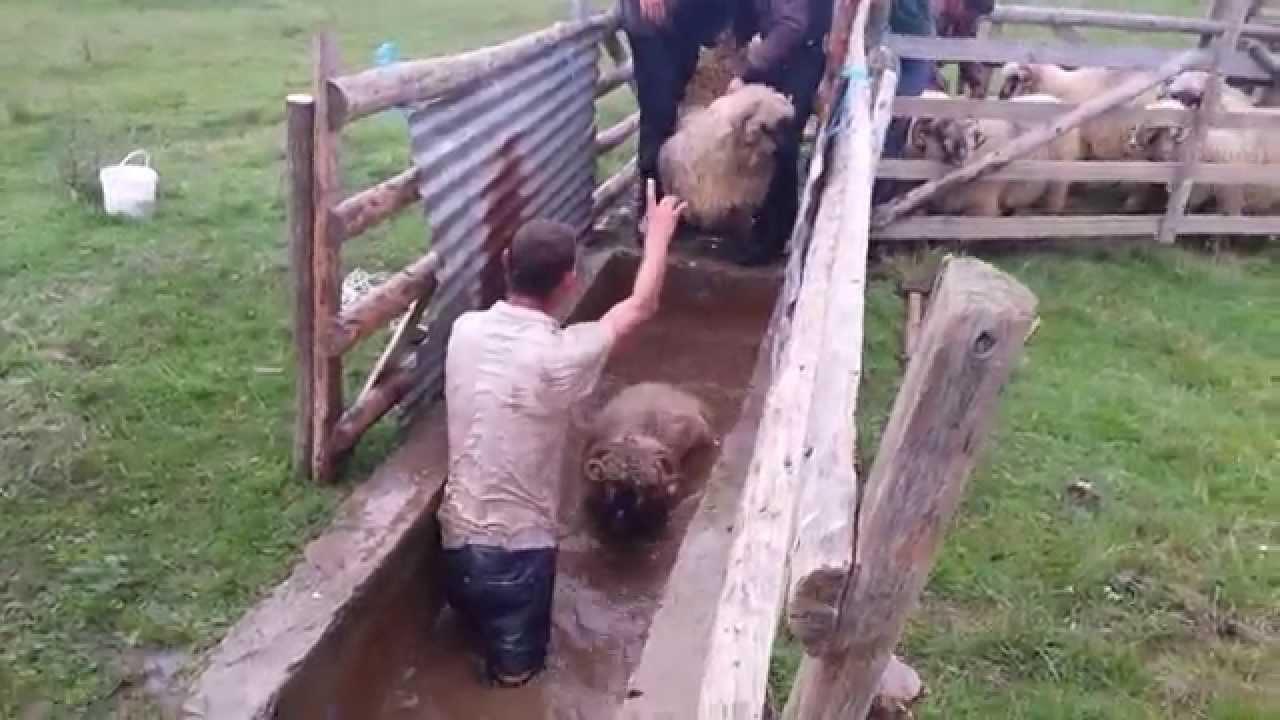 Solutie de raie pentru oi