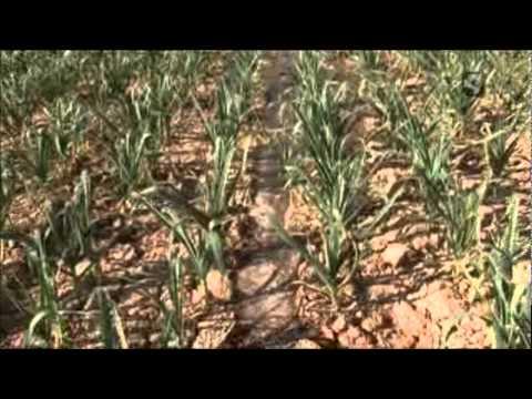 (07/11) Cultivo, recolección y trenzado del ajo de Bardallur