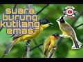 Suara Burung Kutilang Emas Untuk Pancingan Atau Masteran  Mp3 - Mp4 Download