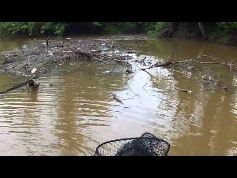 Carp, Grass Carp, and Catfish on the fly Compilation HD 2014 Missouriflies.com