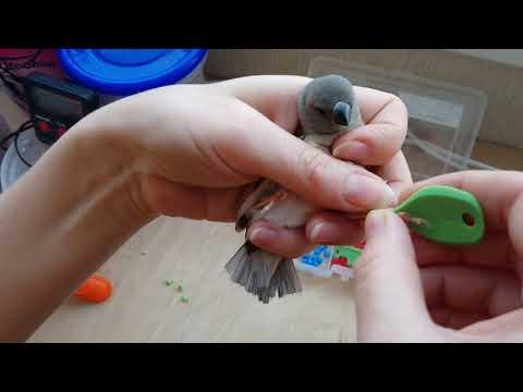 Зачем кольцевать птенцов