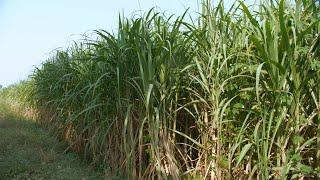 Pan shot of a sugarcane field near a town in Delhi/NCR, India - farming concept