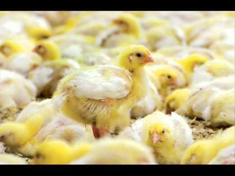 Poultry Farming K Liye Desi Totkay Dr Ashraf Sahibzada