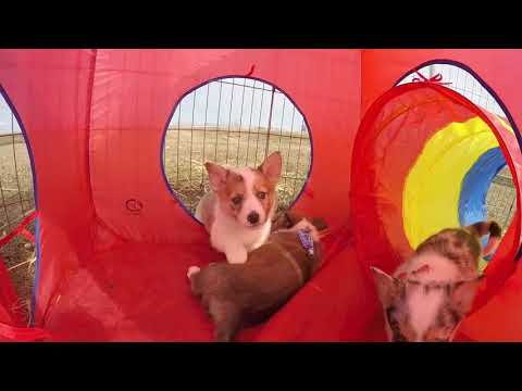 Borgi or Cowboy Corgis Puppies out of Mocha Pure Border Collie and Ranger Pure Bred Corgi born 1:31: