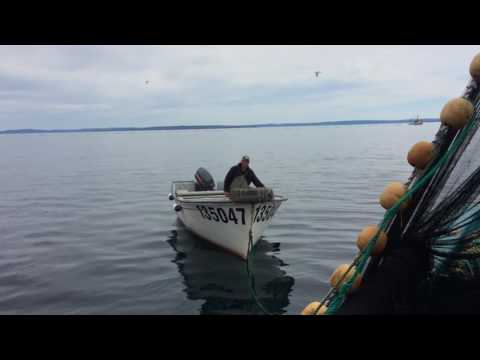 capelin fishery in conception bay Newfoundland.