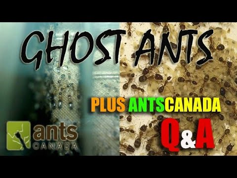 Ghost Ants (Tapinoma melanocephalum) and Q&A