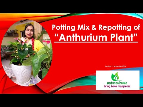 Potting Mix Repotting Of Anthurium Indoorplants Homegarden Youtube