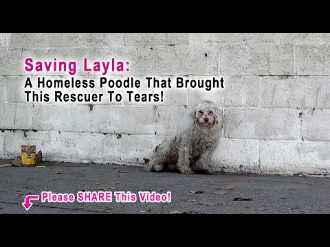 This Rescuer Was Brought To Tears When A Homeless Poodle Did