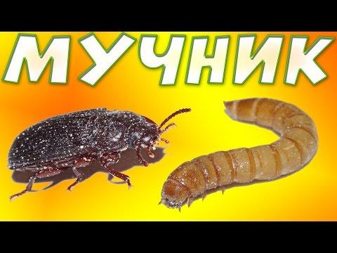 Как развести мучного червя в домашних условиях видео