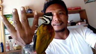 pelatuk bawang gacor untuk master burung