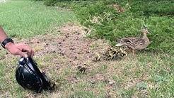 Littleton Duckling Rescue