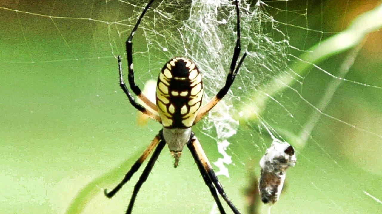 Garden Spider Yikes Egg Sac Male Vs Female Bounce More Argiope Aurantia Youtube