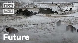 Bison Return to Their Natural Lands for the First Time Since 1877 | NowThis