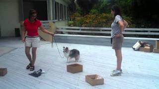 Sydney Trying K9 Fun Nosework With Oh Behave Dog Training