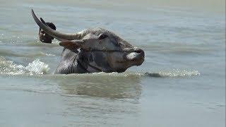 BVS Hallikar Jallikattu bulls running for swimming at Bukkasagaram Part1