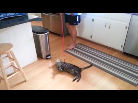Funny cats compilation walking on the leash