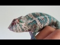 Nosy Faly Oorana Mena Panther Chameleon