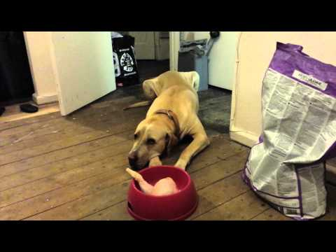 Bully Kutta (basic obedience) trainability. Travel Video