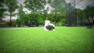 Practice Makes Perfect Dog Training Ny: Cowboy The Pit Bull Training
