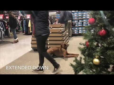 NYC Dog Trainers/Manhattan Dog Trainers/ 9 Month Old Rhodesian Ridgeback, Roxanne