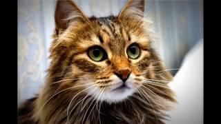 Красивые сибирские-кошки