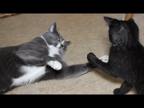 Funny Boxing Cat and Kitten