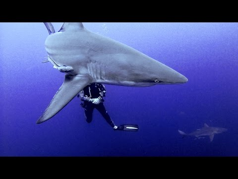 Scuba Diving Protea Banks South Africa  Oceanic Blacktip and Giant Guitar Sharks