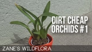 Cheap Orchids #1 - Surprise Oncidium