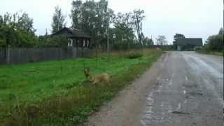 мои собаки в деревне