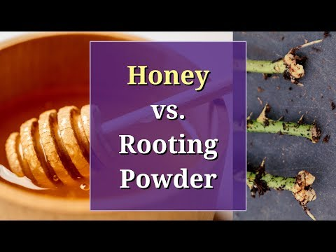 honey-vs-rooting-powder:-a-propagation-trial