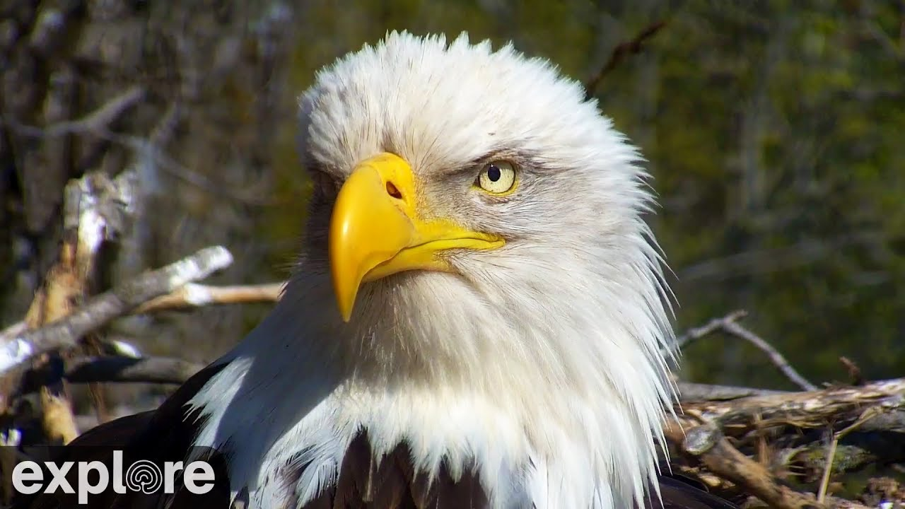 a discussion on why nesting birds nest nearby raptors and aggressive birds Protected wildlife aggressive raptors eagle referred to as migratory bird nest removal permits to build a replacement nesting platform/structure of.