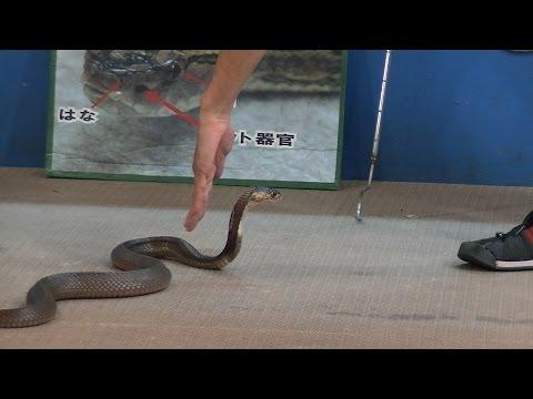 猛毒コブラの意外な弱点 / ハブ博物公園のハブショー