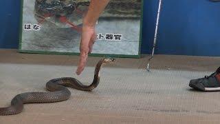 おきなわワールドのハブ博物公園のハブショーにて 猛毒コブラの意外な弱...