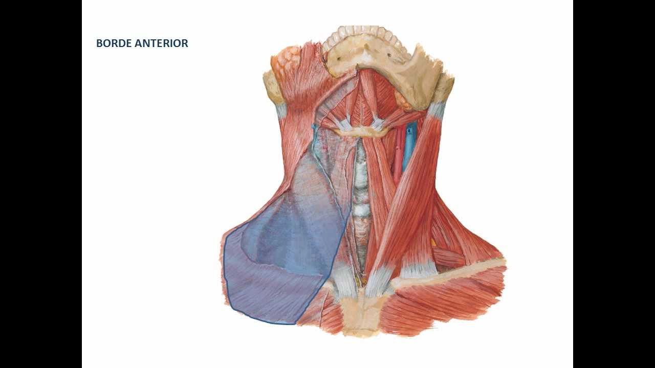 musculos del cuello 1ra parte - YouTube