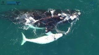 Filman raro ballenato blanco en Australia