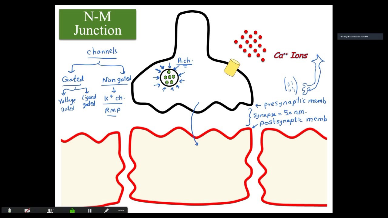 Neuromuscular junction by Dr. Mahmoud Galal for USMLERs - YouTube