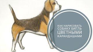 Как Нарисовать Собаку Бигля | Pro Art | Рисуем Собаку Пошагово Цветными Карандашами