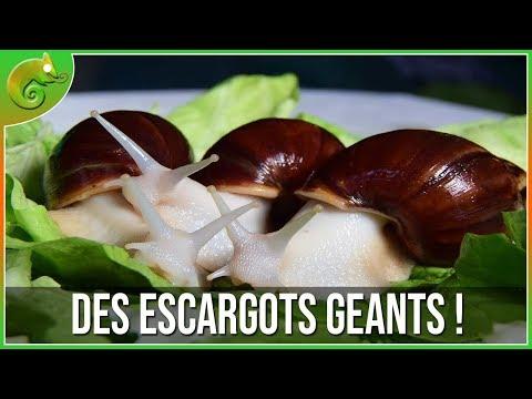 Des escargots géants !