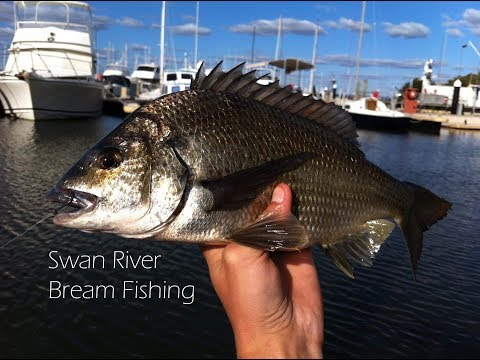 Swan River Black Bream - Converting From Salt To Freshwater | Fishing W