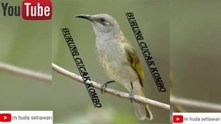Download lagu pemancing suara BurungCucak Komboasli NTB MP3