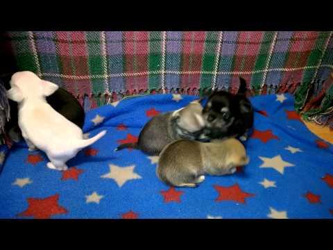 Cute 4 Week Old Chihuahua Puppies