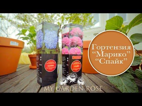 Гортензия крупнолистная Марико, Спайк. My Garden Rose
