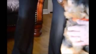 Moleskin Taping A German Shepherd Pups Ears
