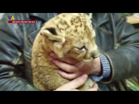 Ukrainian Border Guards Saved Baby Lion From Illegal Trafficking