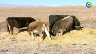 Сибирская язва атакует Казахстан