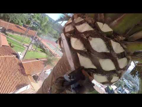 Poda de palma canariense ,Trimming canary island date palm, Canary Island Date Palm, La Jolla CA.