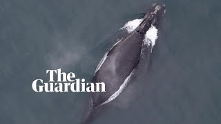 First audio recording of extremely rare north pacific right whale
