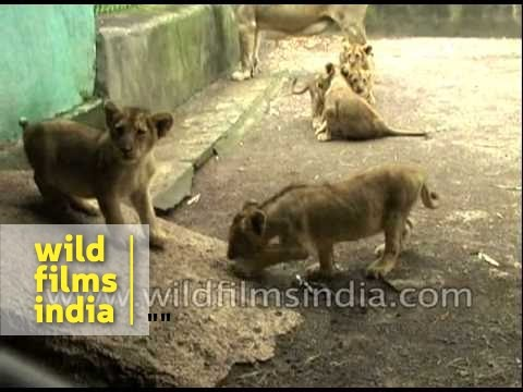 Lioness with cubs at Gir - Gujarat