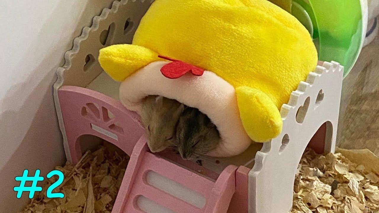 Sweet Couple | My Cute Hamsters #2